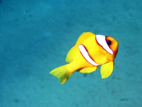 clown fish, red sea