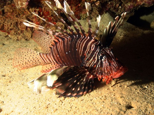 lion fish, red sea, egypt
